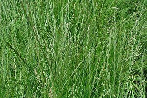 amestecuri de plante furajere