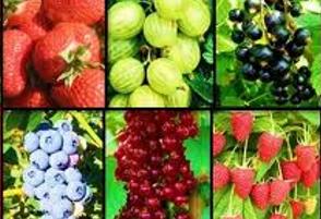 fructiferi