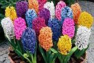 Zambile - Hyacinthus
