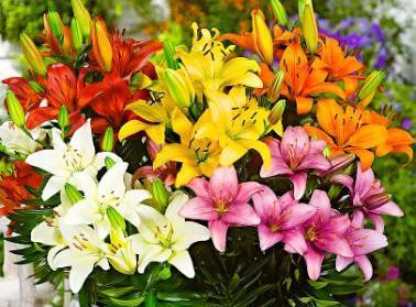 Crini -Lilies Grupa 1