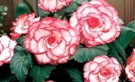 Begonii Cu Flori Mari -Grupa 1