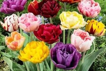 Lalele - Tulips grupa 2