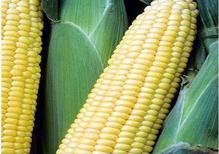 Sheba F1 - 5000 seminţe