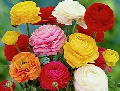 Ranunculus-toamna