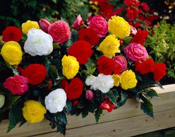 Begonii cu flori mari- Grupa 2
