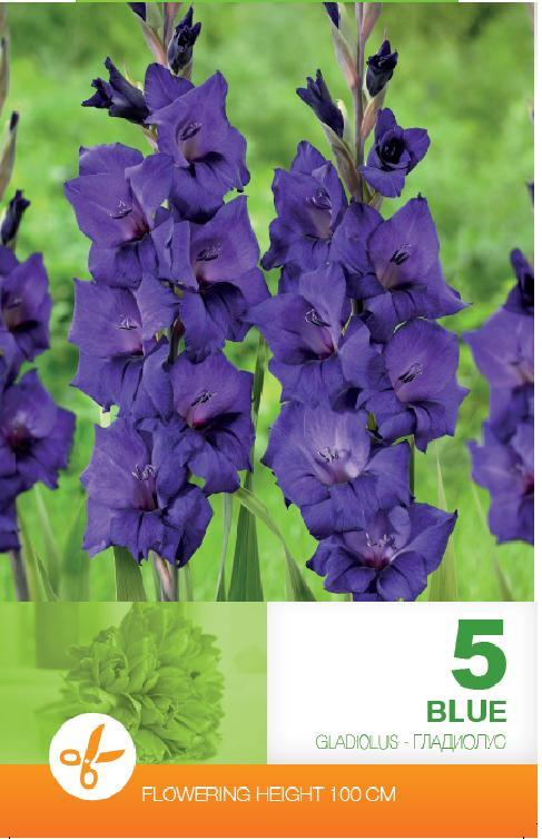 Gladiole - Blue