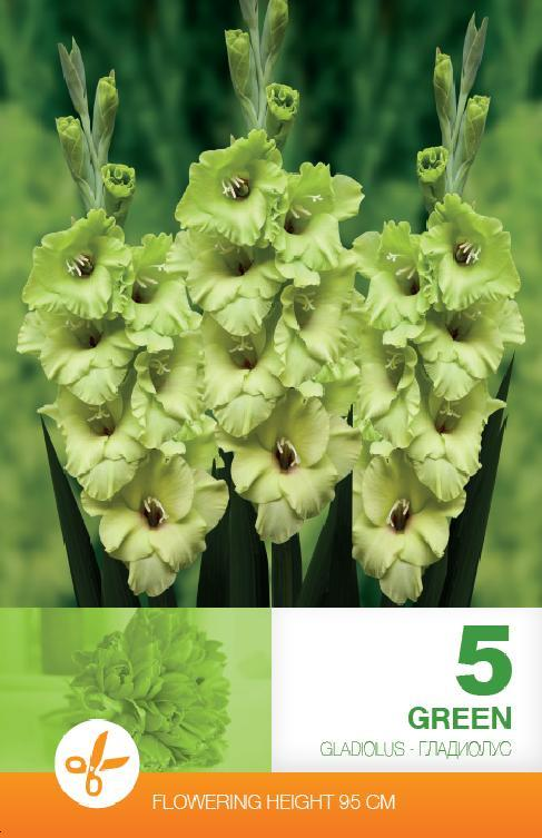 Gladiole - Green