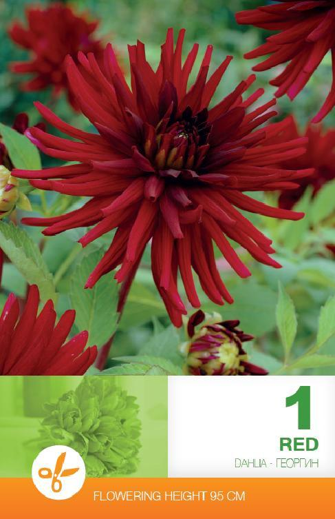 Dalia - Cactus Red