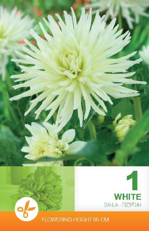 Dalia - Cactus White