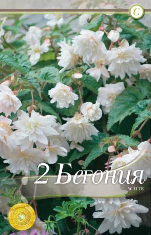 Begonie - Ilumination White