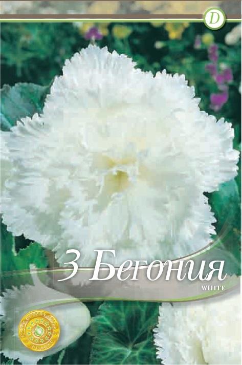Begonie - Fimbriata White