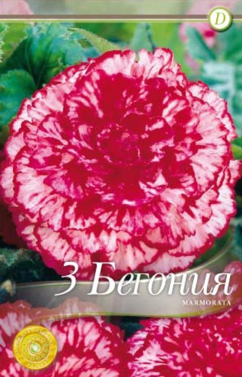 Begonie - Marmorata