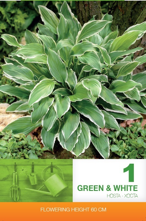 Hosta - Green & White