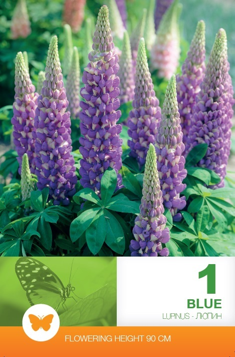 Lupinus Russell Blue
