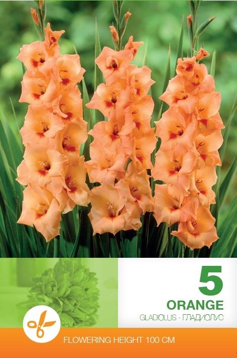 Gladiole - Orange