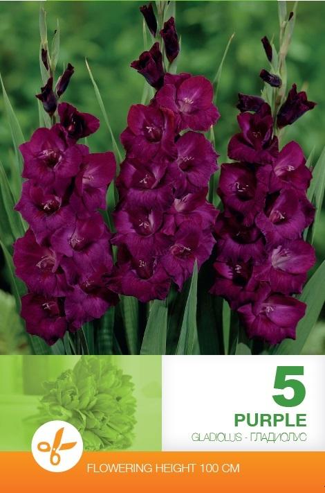 Gladiole - Purple