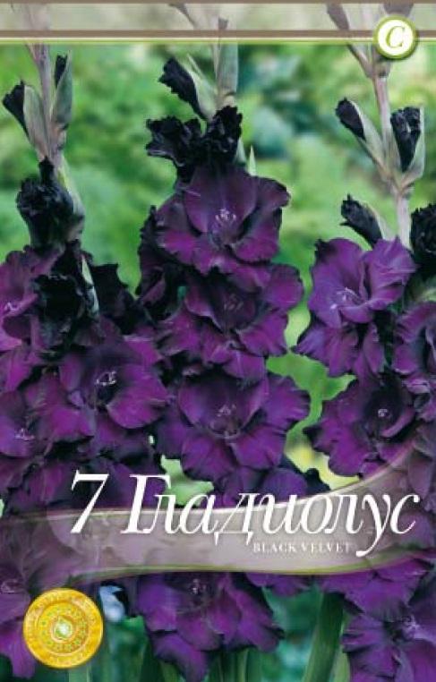 Gladiole - Black Velvet