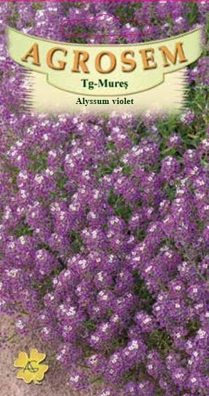 Alyssum violet