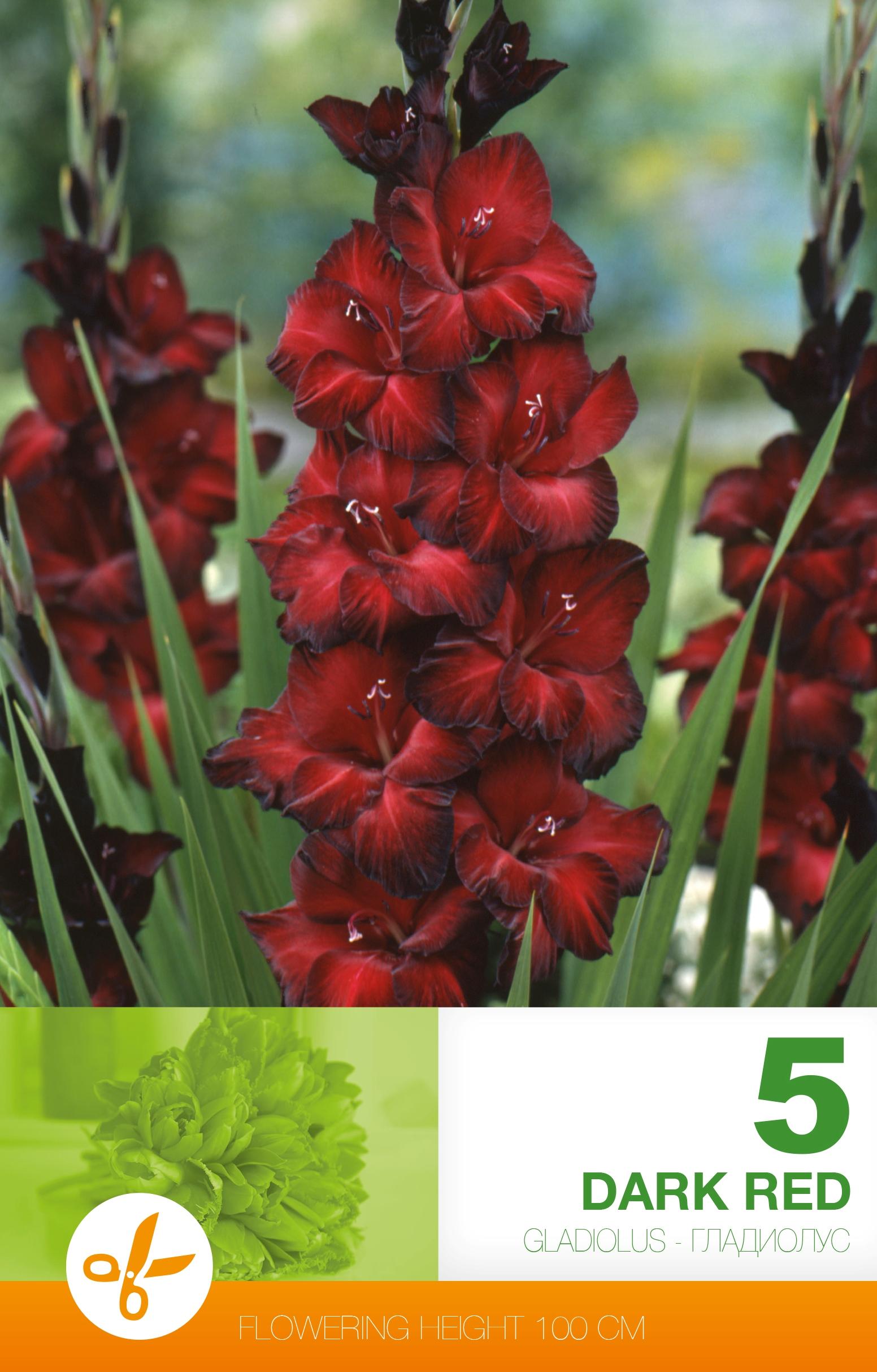 Gladiole - Dark Red
