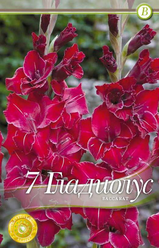 Gladiole - Baccarat