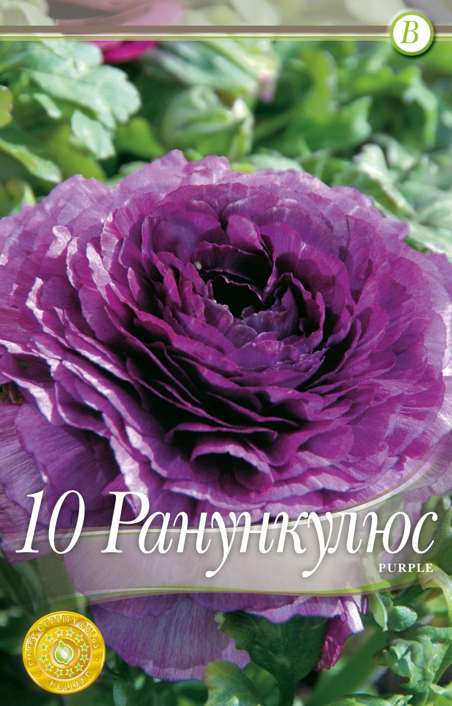 Ranunculus - Purple