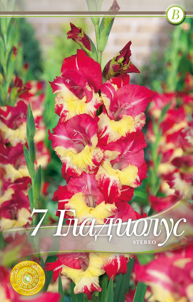 gladiole - stereo