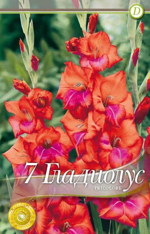gladiole - tricolore