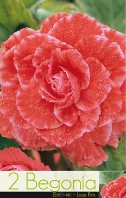 Begonie - lace pink