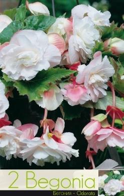 Begonie - odorata pink & white