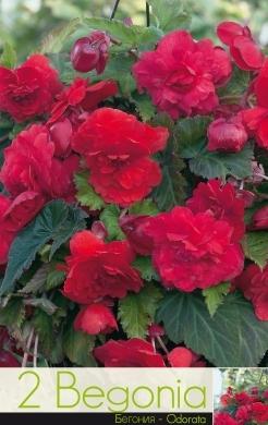 Begonie - odorata rose & red