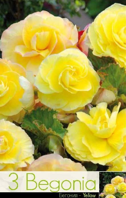 Begonie - superba yellow