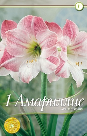 Amaryllis - apple blossom