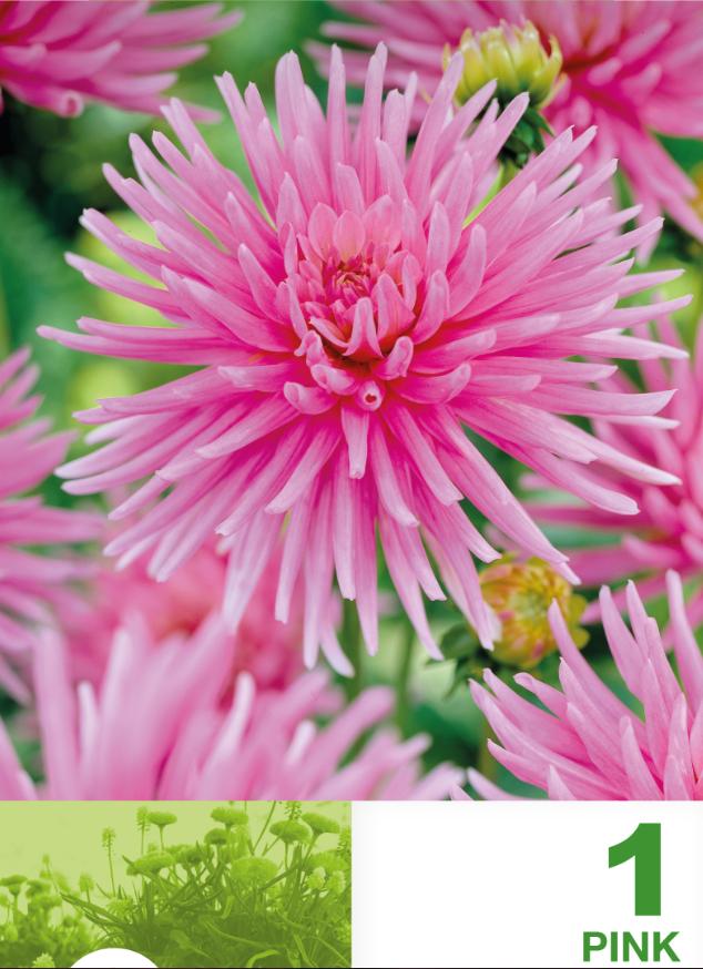 Dalia- Cactus Pink