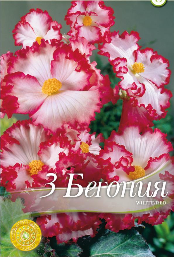 Begonie-Marginata White & Red