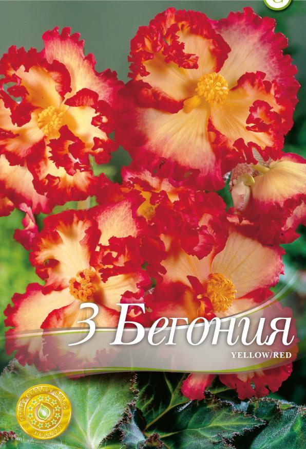 Begonie-Marginata Yellow & Red